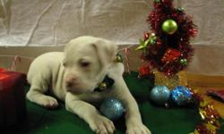 Champion bloodlines. NKC & UKC registered. Loving bully puppies ready for there forever homes. Sweet temperments and nice conformaiton. Raised in a loving home and socialized with other pets. Looking for a new edition that will bring you lots of joy then