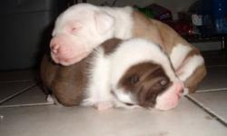American Bulldog Puppies for sale family raised great with kids and animals.One male and One female left. Puppies acome with their first set of shots and dewormer I am located in Mart I will travel to you.for more info please call at (214)587-3390 ask for