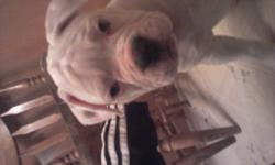 i have one all white with 2 spots on ear american bulldog pup left. utd on shots, dewormed, for more info e-mail msangela1985@yahoo.com