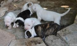 I HAVE FIVE BEAUTIFUL AMERICAN BULLDOGS PUPPIES FOR SALE. THEY ARE 2 MONTHS OLD AND THEY ARE READY FOR A NEW HOME WITH ALL SHOOTS . PARENTS LIVE ON PREMISES. MOTHER AND FATHER HAVE PAPERS