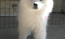 Stunning American Eskimo females puppies for sale. Two are standard size and are 10 weeks old. One is from a miniature line and is 7 weeks old. These are top quality puppies with excellent health and temperament. They have AKC and UKC papers. My puppies