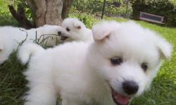 Two wonderful Girl American Eskimos spitz. They are so sweet and love being played with. I only have The girls left. They are great for any home. They play great with other pets and Children. American Eskimos are very smart dogs and train super fast. Give