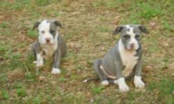 I have 5 puppies for sale. They are blue and white pit bulls terrier, 3 males and 2 females left out of 10. They are UKC registered and purple . They are 14 weeks old and very playful and very cute