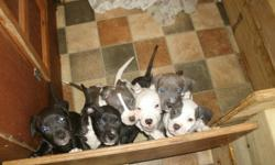 I have a litter of american pit bull terriers for sale. They are full blooded and the father is UKC registered. They are 8 weeks old and ready to find a permanent home. There are 5 girls and 2 boys. Some are black, some white, blue and even brindle. If