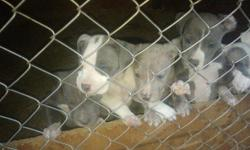 BLUE NOSE RAZOR EDGE PIT BULLS Litter Date of Birth: 9-15-2010 2 Males, 6 Females PRICE: $300!! ADBA Registered!!! Papers, Shots, and All!!! READY TO BE SOLD!! Call or Text (205)369-0195 for more information!!