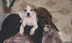 The price for each pit puppy is $150.00. No depositrequired. 1 male (gold and brindle patches) and 1 female (reverse brindle) remain available for sale. I cannot afford to keep them. If you're in the Jacksonville area, please contact me at ()