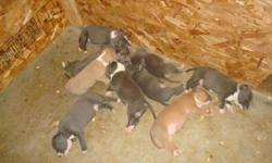 """We are now taking the deposits of $200.00 for Nena (ADBA) and Tombo's (ADBA/PR"""" UKC) puppies. Together they had six blue and whites at $500.00, two blue fawn tris and one blue tri at $800.00. We have the bloodline percentage sheet on Nena(mother) and"""
