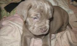 I have 1 ancient bred Neapolitan Mastiff Male Pup.  Excellent Bloodlines.  The Blue Male has beautiful wrinkles, conformation and brains.  They will be ready for adoption on 12/24/2012.  $1200.00 each or best offer.  They need