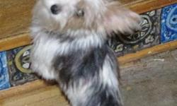 VERY SWEET AND BEAUTIFUL 5LB PARTI COLOR YORKSHIRE TERRIER IS 7 MONTHS OLD AND FULL GROWN,SHEWILL GET NO BIGGER THAN 5 LBS. SHEHAS BEEN RAISED IN MYHOUSE. DEWCLAWS REMOVED, UP TO DATE ON SHOTS.
