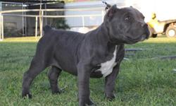 APBT bully forsale check him out www.texasmassivepits.net