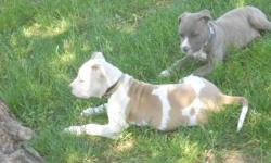 Amercan PitBull puppies white & Fawn male And Blue & fawn Brindle female. Parents On premises. Puppy cage free with purchase