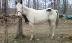 I have an APHA Registered Black and White Tobovero Paint Mare for sale for $1,000. Her registered Name is Aces Blue Powder #786,328. Both of her eyes are blue. She is 14.3 HH and was born April 15, 2003 so she is almost 8 years old. She has hard copy