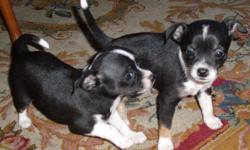 Two twin male applehead chuhuahua. just turn three months. very health and play with kids.