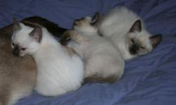 Born on April 5th these kittens will be ready for new homes on June 4th. They are purebred traditional Siamese kittens. The litter is CFA registered. They are hand raised and have the run of house. They are litter box trained and will have vaccinations