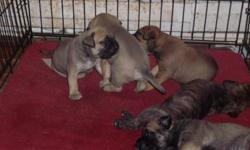 We have 5 bullmastiff puppies born 11/04/12, 2 female fawn colored, 2 male fawn colored and 1brindle colored male. Parents on premises. They are currently 4 weeks old, they will be 8weeks old Jan 4,2013.They will have thier first puppy shots, vet checked