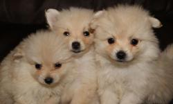 APRI cute male cream colored Pom puppies. 3 guys ready to go. 1st set of shots and wormed. Just asking $200 each no checks please. We are coming to Humble this Sunday and can meet you to see these babies. 936-569-6679 or 936-554-8350