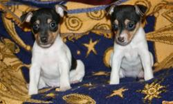 APRI Toy Fox Terrier Puppies for sale. DOB.April 15,2013.Dewclaws removed, Tails Docked, Dewormed and Excellent health check. Their 1st shot due after 6 weeks to 8 weeks of age. Puppies are required 1st vet shot after 8 weeks before Air