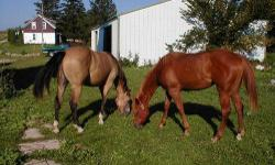 In picture- Breeding stock sorrel paint mare, reg. 9 yr. old, halter broke. AQHA buckskin gelding, 9 yr old, halter broke, has been rode but very little. Not pictured- 3 year old bay paint filly and 2 year old AQHAbay/dunn