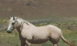 TOP CUTTING & ROPING LINES 2009 AQHA Palomino Filly Personally Plus . Very Gentle, Trims, Bathes, Broke to Lead. Peppy San , Two Eyed Jack Bar Fly, Doc Bar Blood Lines. With Color and Build to Boot. She is going to be a real Show Stopper! $2500.00