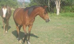 10 yr old Arabian Gelding, 14 hands. He is well broke but has not been ridden for a couple of years. He is hard to catch in the field but is fine once caught. I am selling him because I have to many mouths to feed. I would love to see him go to a