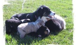 """ASDR Mini and Toy Aussie puppies born 09/14/12. Cricket x Bandit's litter has finally arrived. We have been waiting all summer for this litter. Cricket, litter dam, is our 16"""" black tri female, PRA/prcd N/N, HC N/N and MDR1 N/P. Bandit is our new 14"""" blue"""