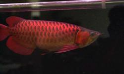 Best color Asian red Arowana Fish and other arowana Fishes for sale.Top quality arowana Fishes of all kinds be assure you will have the best here speaking of fresh water ornamental fish,of course the king is arowanas.arowana fish becomes the most favorite