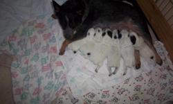 Frist litter for both parents on site, 4 females and 2 males, puppies born 6-12-11, declaws and tails docked by vet, parents in miniture breeding program, puppies very well marked,available after last shots August 10th to reliable pet owners, call for