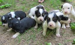 Beautiful Australian Shepard/English Setter Mix puppies for sale. Free!! Only 4 Left!! 1 Female, 3 Males. Father is a full-blooded Australian Shepard tri. Beautiful dog. Mother is an English Setter. Very Smart dog, has been used for bird hunting. Puppies