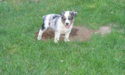 BEAUTIFUL PUPPIES FOR SALE!!!! We have Eleven puppies available and ready to play. Mixture of Black with white, Brown, Blue. Mother is pure bread Australian Shepard, and male is pure bread blue healer (parents are registered dogs).