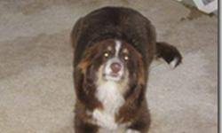 One precious, friendly, Australian Shepherd, 11 mths old, NOT neutered, WITH A TAIL. It adds to his dignity. Approx. 40 lbs. REDUCED TO ONLY $300. Already great with herding. CALLS PREFERRED 386-748-8973 WE ARE LOCATED IN CENTRAL FLORIDA.