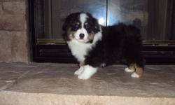 I have been involved in Aussies over 20 yrs. I have been involved in training,showing and breeding.We strve to produce healthy /happy puppies. We have Standard,Mini,Toys.www.riverrunskennels.com