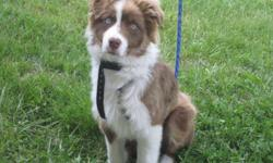 12 month old, pure bred, Red-tri male Australian Shepherd. His name is Astro and he is an extremely energetic puppy. I love him to death, but I just don't have the time that he requires. He would make a fantastic herding dog, if properly trained. He truly