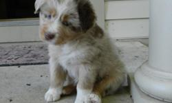 5 Red merle and 4 red tricolor AKC Australian Shepherd pups born on August 8, 2012, will be ready for their new home October 3. Both male and female pups are available. Parents are on site, dual registered and extremely smart and loyal. The pups are being
