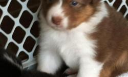 I have 3 month old Australian Shepherd puppies available.   Black tri and Red tri, both parents available to be seen for quality and disposition.  We are looking for good pet homes.  Puppies will only go to approved homes.