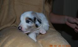 Aussie Puppies 3 weeks old (born 11/5/12).  Ready 12/31/12.  *Full Registration.  Blue Merle Females, Blue Merle Males, Black Tri Female and Black Tri Males.  Your choice!  AKC Reg and getting ASCA Registered.  Great