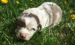 ASDR and CKC registerd australian shepherds with beautiful markings! carriers of the blue eyed tri and bi gene ! Out of working parents. Will be wormed and first shots given. You can visit my site www.wvaussiesandcorgis.com to see the parents and other