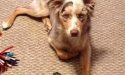 Two Australian Shepherd dogs, the red tri is a female born 06-29-12 the male will be two in 2013, $600.00 for both. These dogs need to be worked we just don't have time to give them the time they need. They are very good dogs. Can be used as breeding