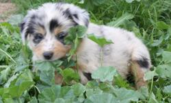 Australian Shepherd pups. AKc & ASCA reg. well socialized. They will have a good work ethic and herding intinct. They will be great for family, show, agility or the farm/ranch.   www.hatchhorses.com/puppies  $600-$1000 336-725-8348