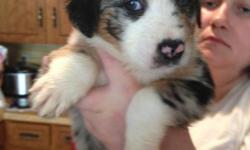 Full blooded, NOT AKC registered, tails are clipped and they are dewormed. I have 5 available: 3 females and 2 males. Available now and are 6 weeks old. Contact Tonya