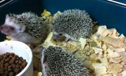 I have a cute litter of baby African Pygmy Hedgehogs ready for sale NOW. Colors are mixed; and I also have a true Albino hedgehog available as well. PLEASE CALL ME AT 954-237-7901 AND LEAVE A MESSAGE. I'm located in Fort Lauderdale, FL, and am a USDA