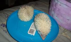 For Sale African Albino Female Hedgehog.  She is about 11 weeks old and is very friendly.  The price is 150.00. --