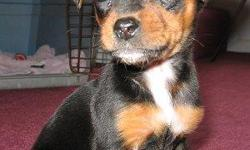 beagle/min pin mix pup for a loving home.perfect family pet,please call for more info