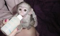 She is a cute monkey , free from any animal disease , she is being feed with vegetable and insect foodstuffs , she is presently living with us and can be all yours if and only you are willing to take very good care of her .
