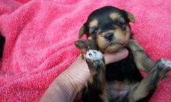 These precious babies are non shed and hypoallergentic for allery sufferers. They are going to look just like the Yorkshire Terrier with long silky glossy coats. They are home raised and handled daily. They are going to be about 7 lbs full grown, Both