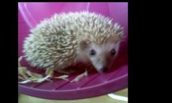 We have 1 female and 3 male Hedgehogs ready for their new homes. They are nine weeks old and will go home with a care sheet, a sample of food, a food bowl and a bandana for snuggling under. Check out our website www.Hectorshedgehoghotel.weebly.com