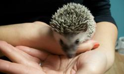Baby hedgehogs for sale from knowledgeable, experienced breeder. Handled since two weeks of age; very friendly hedgies! Come with food and care guide. $150 each **Compare to the pet store prices of $200-250 in the GR area** Come visit them today!