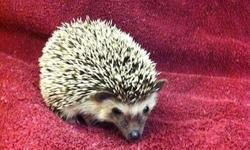 I have three adorable baby hedgehogs for sale: 1 albino & 2 S&P. Please call 954-237-7901. I am a licensed breeder located in Fort Lauderdale...just a short ride from Miami. Please see my site at www.homebredpets.com