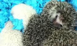 We raise quality bred Pgymy African Hedgehogs we only have a few we do Not breed massive amounts. our females have breaks before breeding again and are very friendly and tame babies are of various colors and all have been held a lot so taming them for you