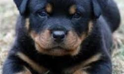 Very sweet and loving, 2 boys and 4 girls. Born October 11,2012. Mom and dad are German Rottweilers. Asking for $600 but will negotiate to $300 or best offer, on the cause that we missed out on getting their tails clipped.