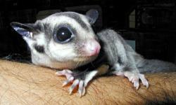 Baby Sugar Gliders, Males and females available, 8 weeks out of pouch, Super sweet